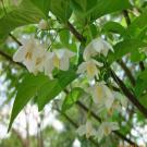 Στύραξ (Styrax officinalis)