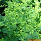 Lady's Mantle 100gr